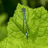 Ischnura elegans Fotografia Royalty Free