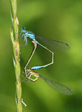 Ischnura elegans - common bluetail damselfly pair Royalty Free Stock Photo