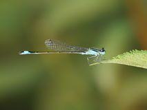 Ischnura elegans, male Stock Photos