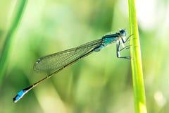 Ischnura elegans & x28; Vander lind, 1820& x29; - man Arkivbilder