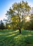 Iscolated дерево при солнце создавая влияние звезды стоковое изображение