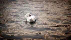Iseo Lake Italy. Swan on Sundown royalty free stock image