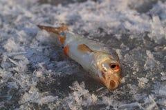 Isfiske, fångad fisk på is Arkivfoto