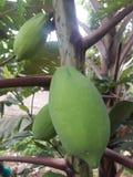 isiolo Kenya północny melonowa drzewo zdjęcia stock