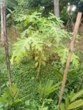 isiolo Kenya północny melonowa drzewo fotografia royalty free