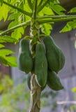 isiolo Kenya północny melonowa drzewo Fotografia Stock