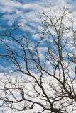 Iskalla filialer av akacian på himmelbakgrunden Arkivfoton