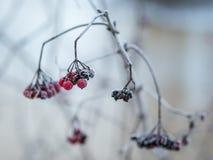Iskallt rött bär per kall vintermorgon Arkivbild