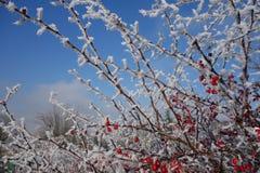 Iskristaller på den barerry busken Royaltyfria Foton