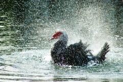 Iskrzastej wody kaczka Obraz Stock