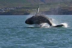 Islândia - mostra da baleia Fotografia de Stock