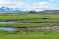 Isländische Landschaft voll von Schafen - Island lizenzfreie stockfotos