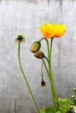 Isländische Mohnblumen auf Grau mit den Knospen Stockfotos