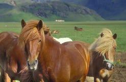 Isländische Pferde Lizenzfreies Stockbild
