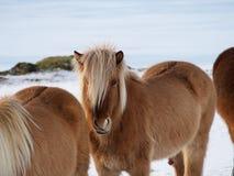 Isländische Pferde Lizenzfreie Stockbilder
