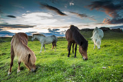 Isländische Pferde lizenzfreie stockfotografie