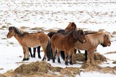 Isländische Pferde aalen sich gegeneinander am Winter, Island Lizenzfreies Stockfoto
