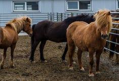 Isländische Pferde auf dem Bauernhof in Island lizenzfreie stockfotos