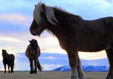 Isländische Pferde bei Sonnenaufgang Lizenzfreie Stockbilder