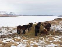 Isländische Pferde, die auf Feld nahe gefrorenem Fluss einziehen Lizenzfreies Stockbild