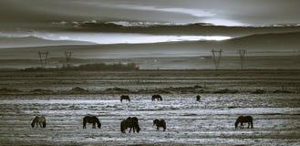 Isländische Pferde, die bei Sonnenuntergang in einem Gewann weiden lassen Lizenzfreie Stockfotografie