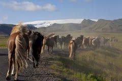 Isländische Pferde, die hinunter eine Straße in Felder laufen Stockfotos