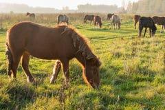 Isländische Pferde, die im Sonnenlicht des späten Nachmittages weiden lassen Lizenzfreie Stockfotos