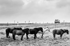 Isländische Ponys Stockfotos