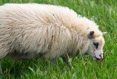 Isländische Schafe Stockfoto