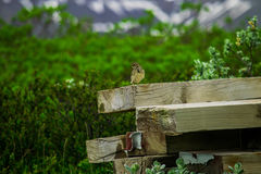 Isländische Wiese pipettieren das Sitzen auf Holz in Nationalpark Skaftafell Lizenzfreies Stockfoto