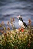 Isländischer Papageientaucher, der zu Mittag isst lizenzfreies stockfoto