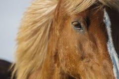 Isländisches braunes Pferd Lizenzfreie Stockfotos