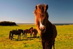 Isländisches Pferd Lizenzfreie Stockfotografie