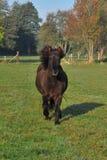 Isländisches Pferd Lizenzfreies Stockfoto