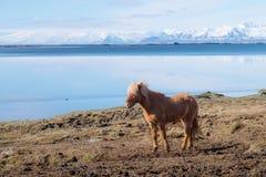 Isländisches Pferd Lizenzfreie Stockbilder