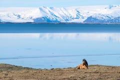 Isländisches Pferd Stockfotografie
