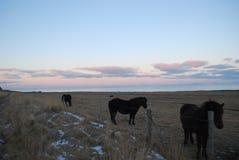 Isländisches Pferd Stockfoto