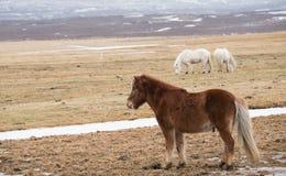 Isländisches Pferd auf dem Gebiet lizenzfreies stockbild