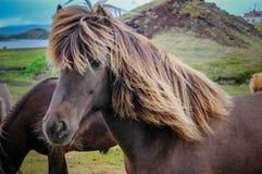 Isländisches Pferd auf einem Bauernhof Stockbilder