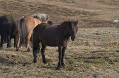 Isländisches Pferd auf einem Island-Bauernhof stockfotografie