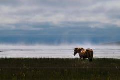 Isländisches Pferd auf Misty Shore Lizenzfreie Stockbilder