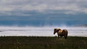 Isländisches Pferd auf Misty Shore Lizenzfreie Stockfotos