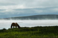 Isländisches Pferd auf Misty Shore lizenzfreie stockfotografie