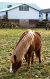 Isländisches Pferd, das auf dem Gras weiden lässt Stockfotos