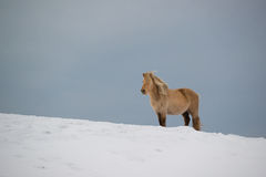 Isländisches Pferd, das auf dem Schnee, Island steht Stockfoto