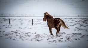 Isländisches Pferd, das unter den Schnee galoppiert Lizenzfreies Stockbild
