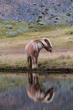 Isländisches Pferd, das wildes Island weiden lässt Stockfotos