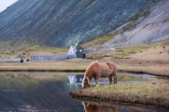 Isländisches Pferd, das wildes Island weiden lässt Stockbilder