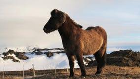 Isländisches Pferd in der Koppel stock video