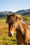 Isländisches Pferd in einem späten Abend des Bauernhofes. Stockfotos